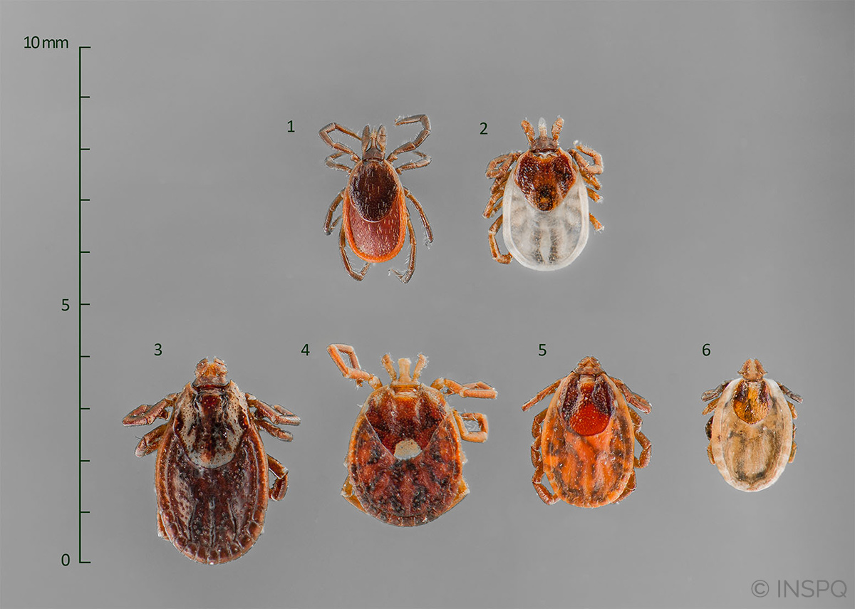 different species of female ticks